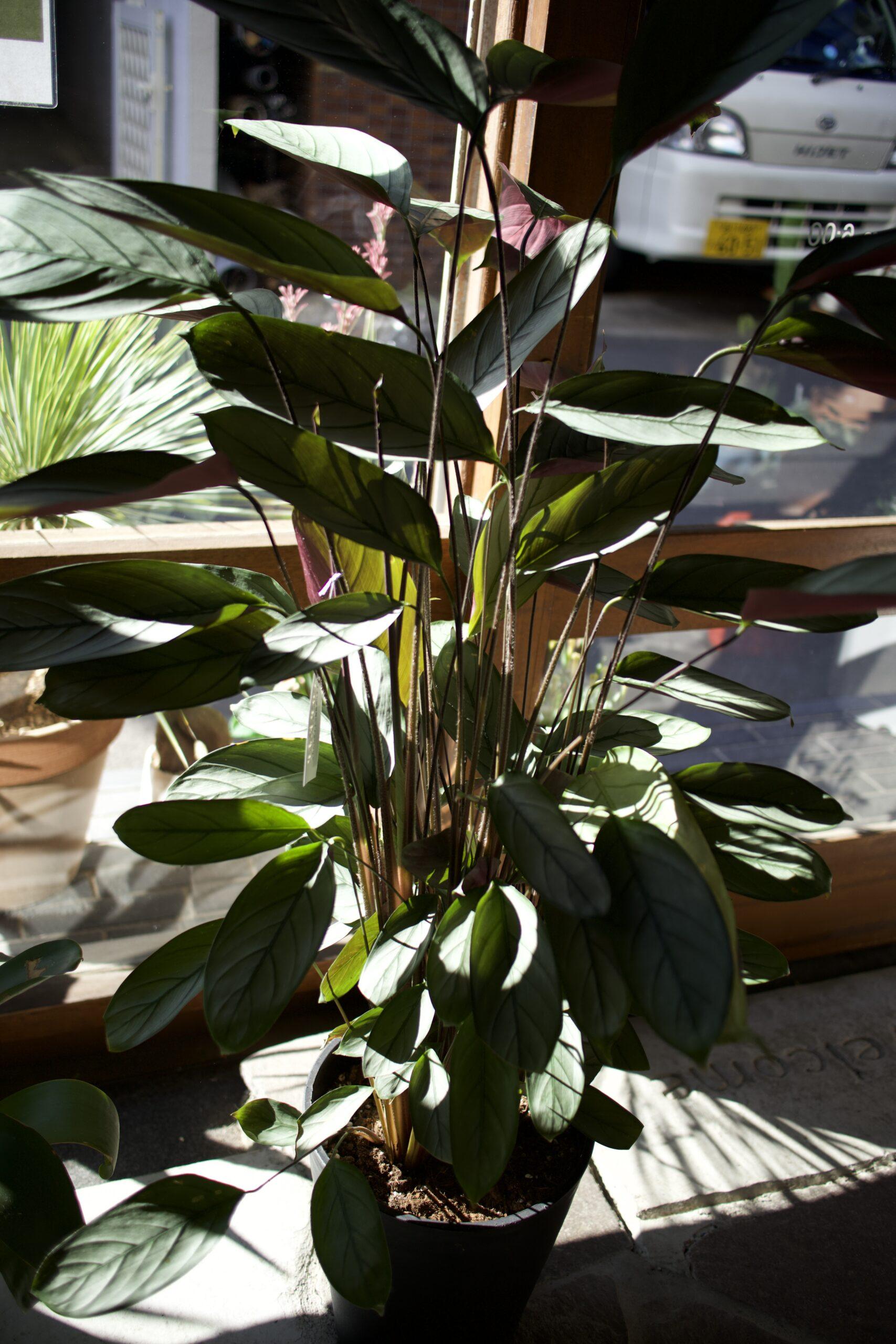 クテナンテ 観葉植物 インテリアグリーン